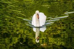 Cisne, Cigno Fotografia de Stock Royalty Free