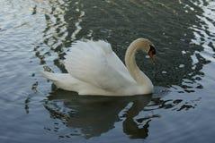 Cisne clásico Imagen de archivo libre de regalías