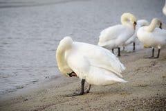 Cisne com asas abertas fotografia de stock royalty free