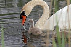 Cisne com cygnet do bebê foto de stock royalty free