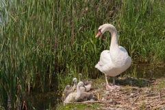 Cisne com cygnets foto de stock