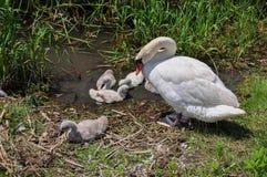 Cisne com cygnets fotografia de stock royalty free