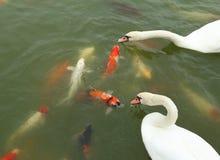 Cisne com natação dos peixes do koi na lagoa Fotos de Stock