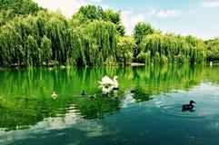 Cisne com os bebês no lago imagem de stock