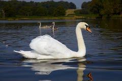 Cisne com os dois que birdling foto de stock royalty free