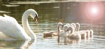 Cisne com os jovens fotografia de stock royalty free