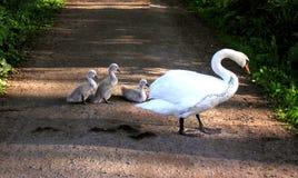 cisne com pintainhos Imagens de Stock Royalty Free