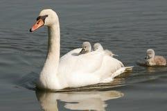 Cisne com pintainhos Fotografia de Stock
