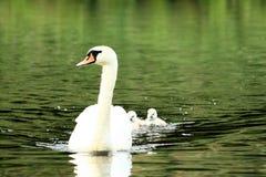 Cisne com pintainhos Fotografia de Stock Royalty Free