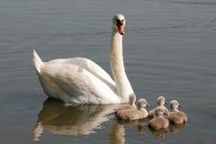 Cisne com pintainhos fotos de stock royalty free