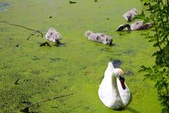 Cisne com pintainhos da cisne imagens de stock royalty free