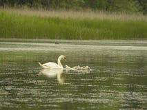 Cisne com pouco Foto de Stock Royalty Free