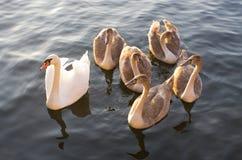 Cisne com poucos jovens imagem de stock royalty free