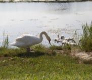 Cisne com seus jovens Imagem de Stock Royalty Free