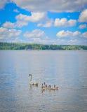 Cisne com suas crianças Imagens de Stock