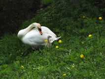 Cisne com um pintainho pequeno em um prado verde imagem de stock