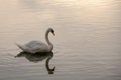 Cisne com uma reflexão imagens de stock