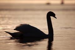 Cisne como silueta Fotografía de archivo