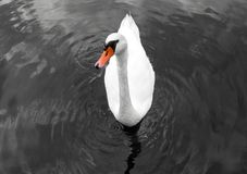 Cisne con el canalón anaranjado en imagen blanco y negro foto de archivo
