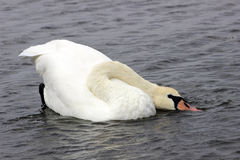 Cisne con el cuello arqueado Imagen de archivo