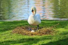 Cisne con el huevo Foto de archivo libre de regalías