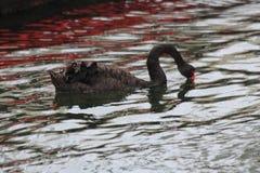 Cisne con el pico rojo Imagen de archivo libre de regalías