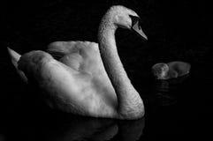 Cisne con el sygnet Fotos de archivo libres de regalías