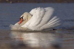 Cisne con la onda de arqueamiento Imagenes de archivo