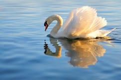 Cisne con la reflexión de oro Imagenes de archivo