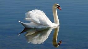 Cisne con las alas aumentadas con la reflexión en el agua Foto de archivo