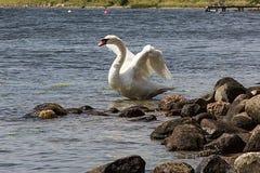 Cisne con las alas extendidas Imagen de archivo libre de regalías