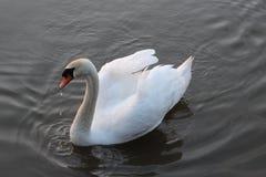 Cisne con las gotitas de agua Fotografía de archivo