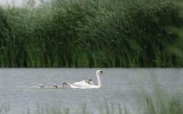 Cisne con los babyes Fotos de archivo libres de regalías