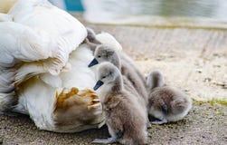 Cisne con los bebés Fotografía de archivo libre de regalías