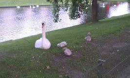 Cisne con los bebés en Brujas Fotografía de archivo libre de regalías