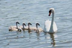 Cisne con los jóvenes fotografía de archivo