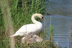 Cisne con los jóvenes Imagen de archivo