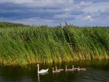 Cisne con los niños Fotografía de archivo libre de regalías