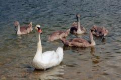 Cisne con los niños jovenes Fotografía de archivo