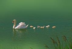 Cisne con los pequeños cisnes lindos Fotos de archivo