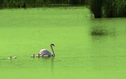 Cisne con los pequeños cisnes lindos Foto de archivo libre de regalías