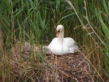 Cisne con los pollos del cisne Imagen de archivo