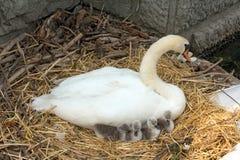 Cisne con los polluelos Imagenes de archivo