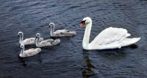 Cisne con los polluelos fotos de archivo libres de regalías