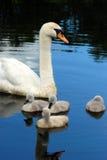 Cisne con los polluelos del bebé Imagenes de archivo