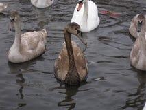 Cisne cubierto con petróleo Fotografía de archivo