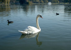 Cisne curiosa Imagens de Stock Royalty Free