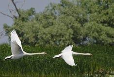 Cisne (Cygnus Olor) Foto de archivo libre de regalías