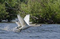 Cisne (Cygnus Olor) fotos de stock royalty free