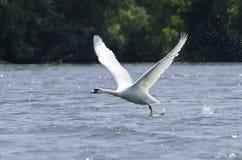 Cisne (Cygnus Olor) Imagen de archivo libre de regalías